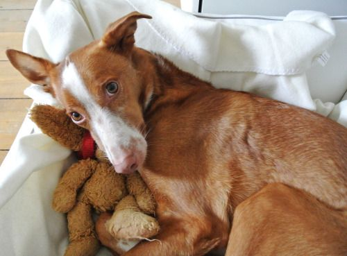 handsomedogs:Cody and his toy Dexter.