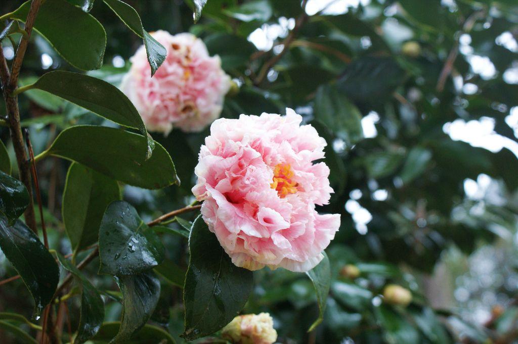 Camellia Japonica Hawaii Camellia Japonica Flowers