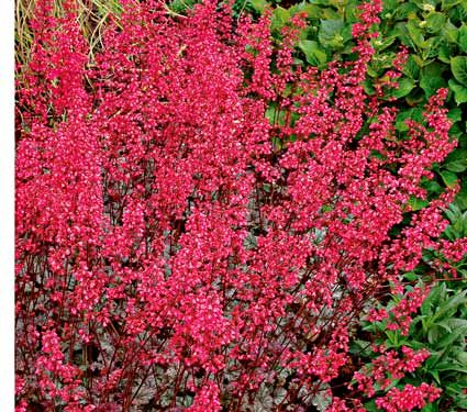Heuchera Rave On Coral Pink Flowers With Silvery Green Leaves Dry Shade White Flower Farm Heuchera White Flower Farm Shade Plants
