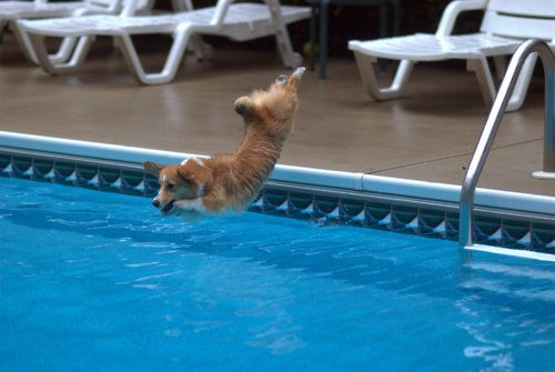 trying out for the corgi olympic team.