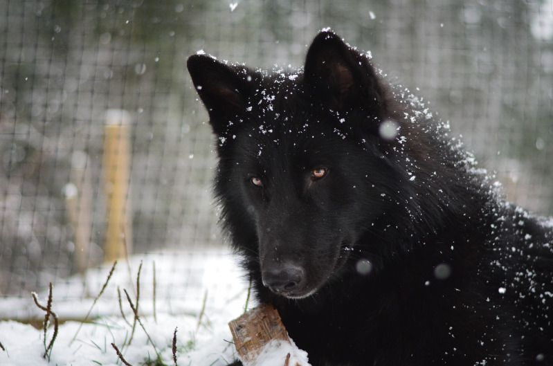 Alaskan Noble Companion Dog, wow these are gorgeous, i want one now