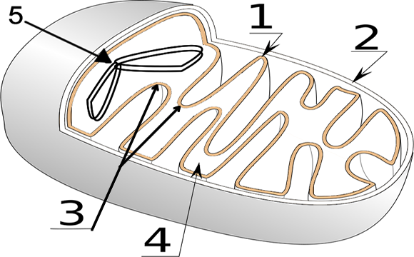 How Does The Mitochondria Produce Energy For The Cell