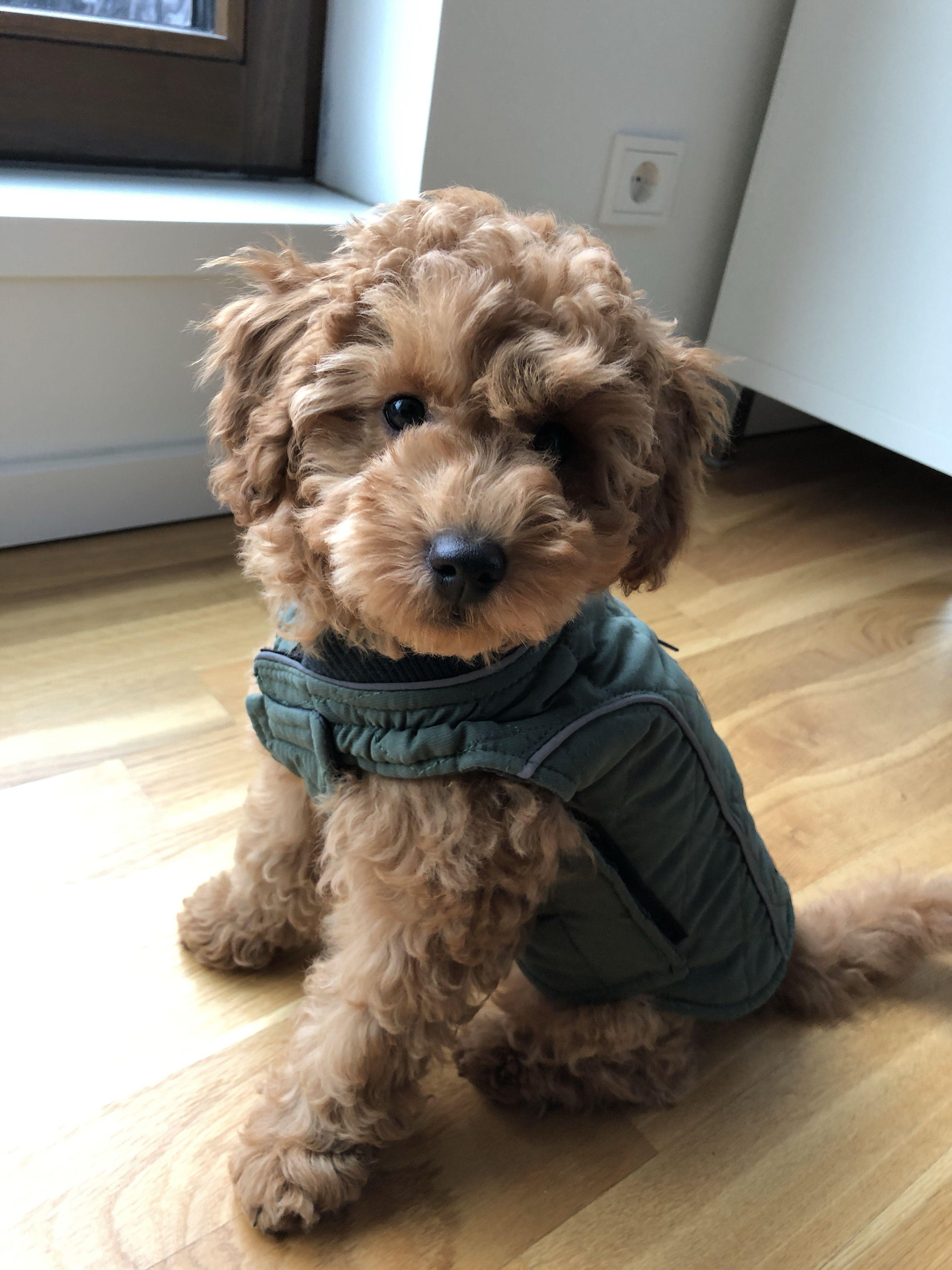 Moki Der Pudel Youtube Dog Breeds Friendly Dog Breeds Dog