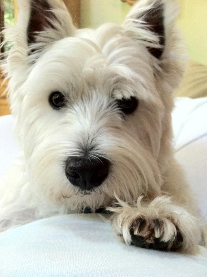 Buy Westie Puppies In North Dakota USA