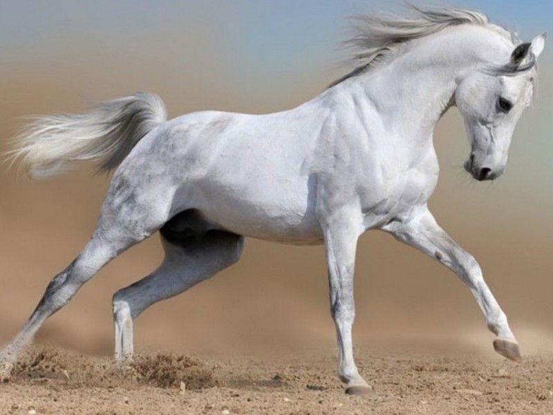 Les Fonds D Ecran Un Cheval Blanc Au Galop Dans Le Sable Animaux Beaux Cheval Chevaux Arabes