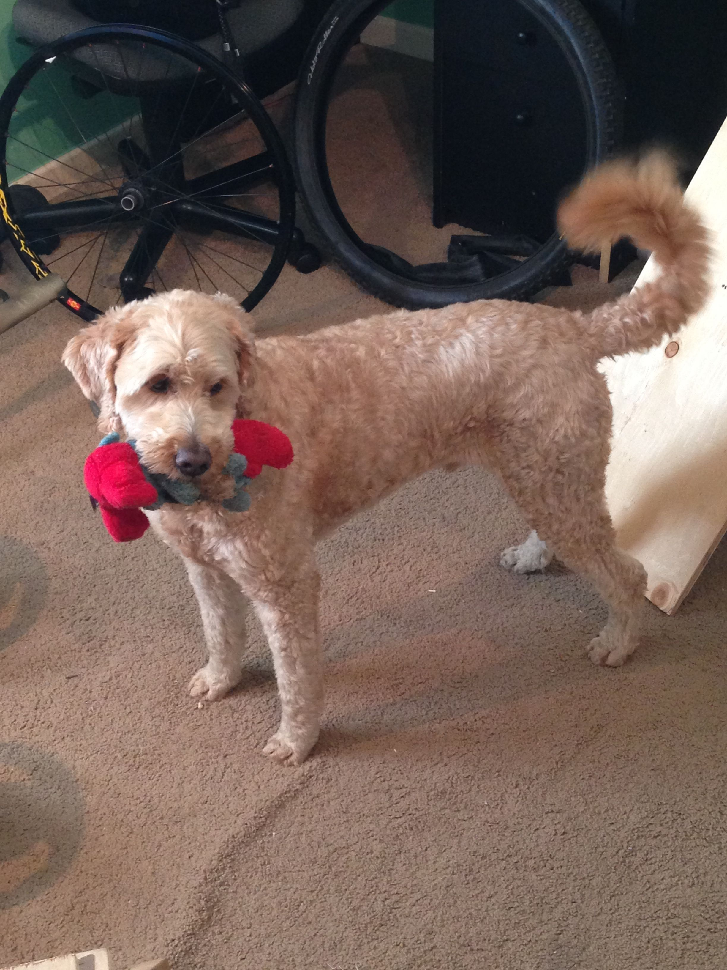 Golden Doodle wanting to play! Goldendoodle, Dogs, Animals