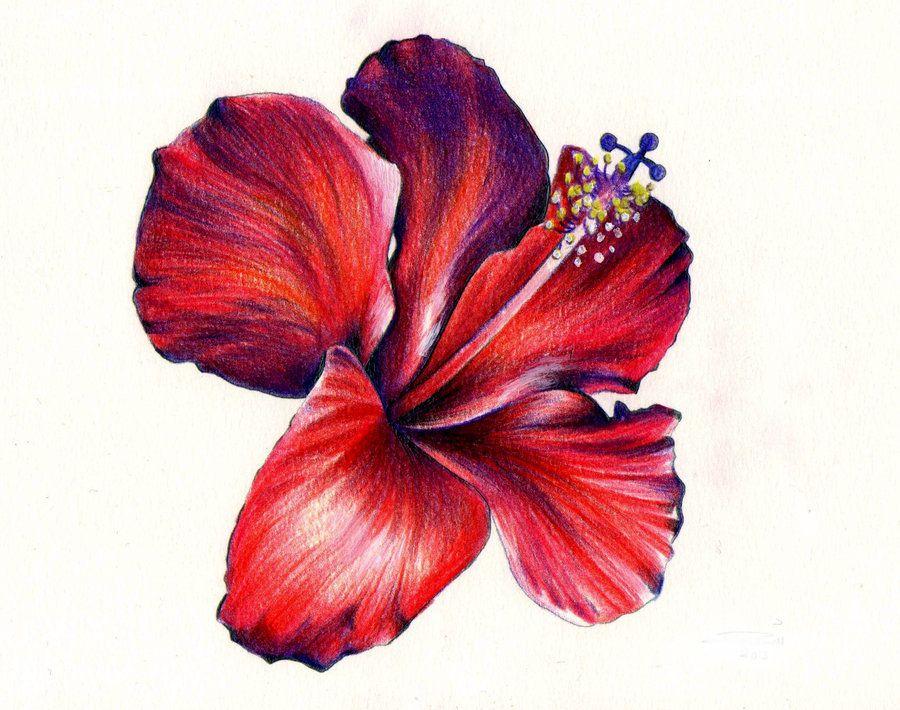Hibiscus Flower by KatePowellArt on deviantART Pencil