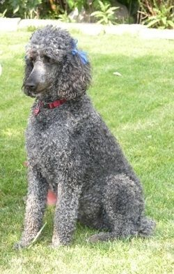 Standard Poodle Haircuts Chloe The 6 Year Old Blue Standard
