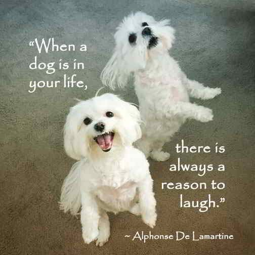 Animal Quotes Maltese Dogs Dog Quotes Maltese