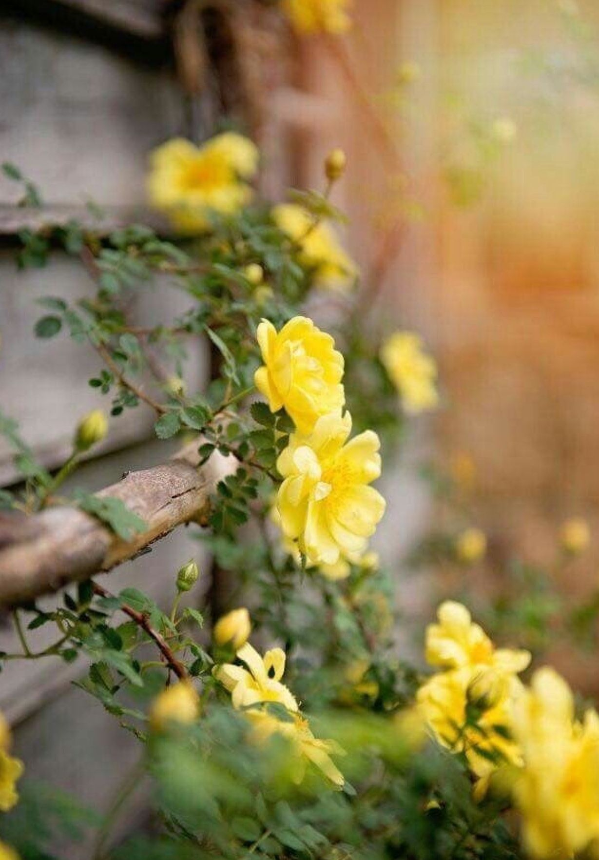 Pin by Gail Steven on Color Themes Yellow roses
