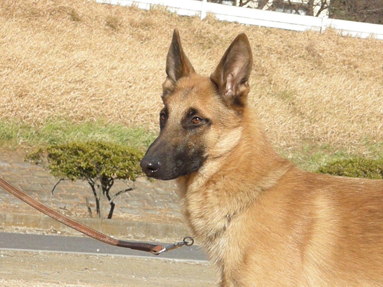 BELGIAN SHEPHEED DOG MALINOIS Belgian shepherd dog