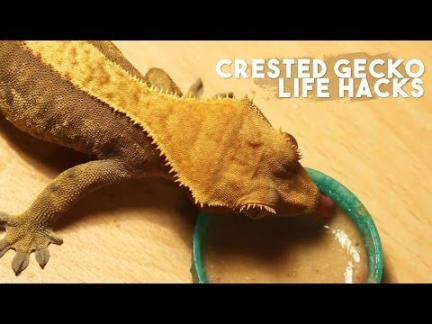 Crested Gecko Life Hacks Youtube 1 Put Crusty Food Leftovers Back In Terrarium For The Cleanup C Crested Gecko Care Gecko Terrarium Crested Gecko Habitat