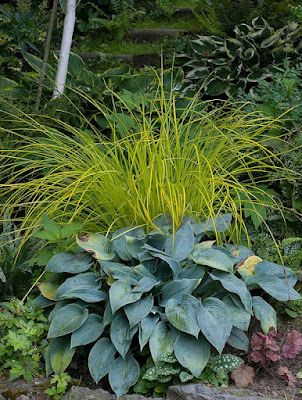 turzyca Carex elata 'Aurea' + hosta