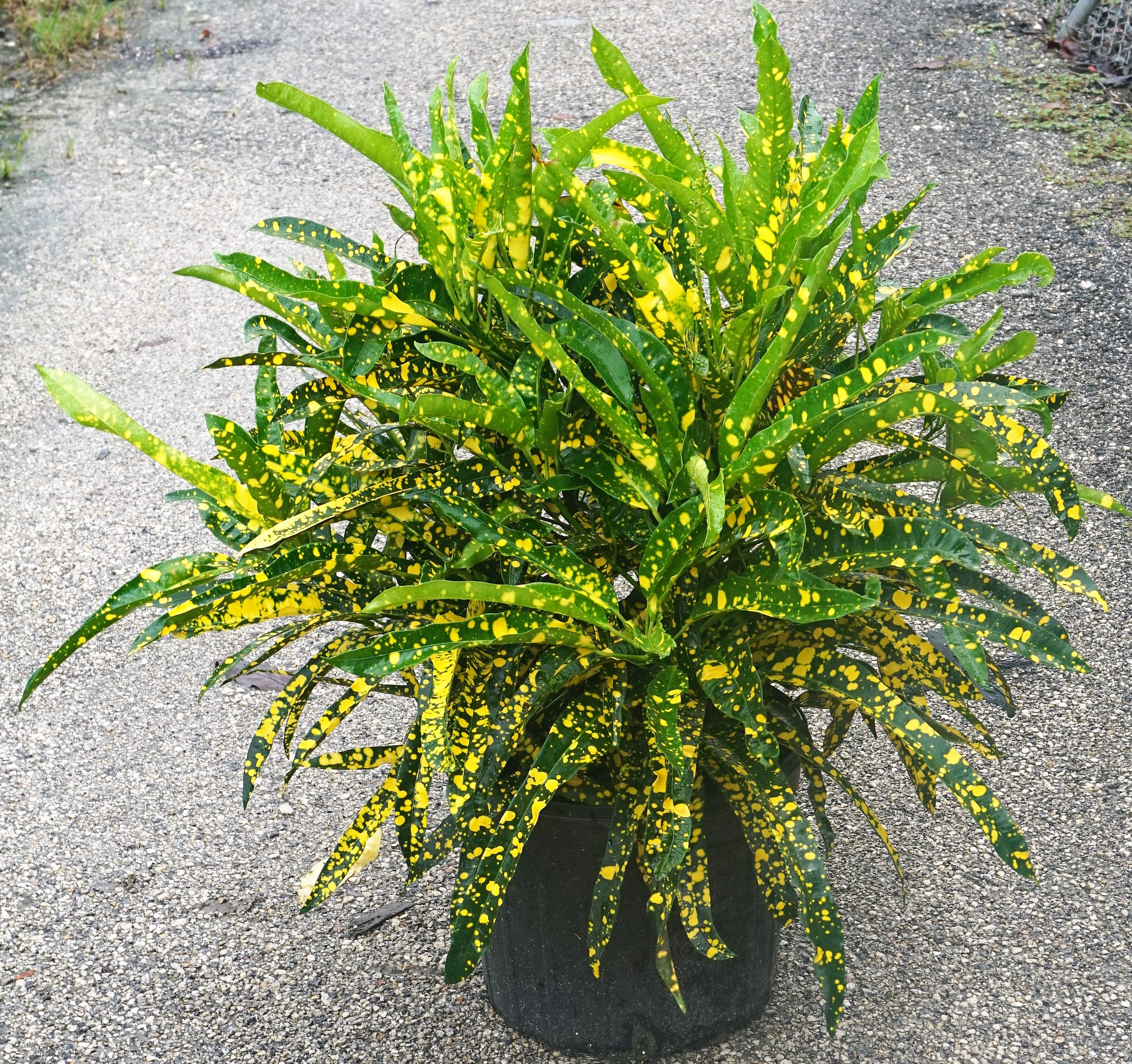 croton sloppy painter Plants, House plants, Florida plants