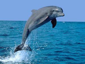 Fondo de Pantalla de Un Delfín Levantado