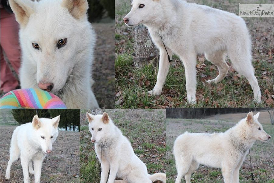 Wenston Wolf Hybrid Puppy For Sale Near Knoxville Tennessee