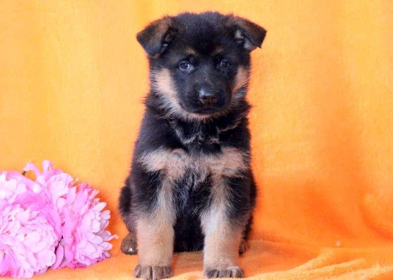 German Shepherd Dog Puppy For Sale In Mount Joy Pa Adn 69368 On