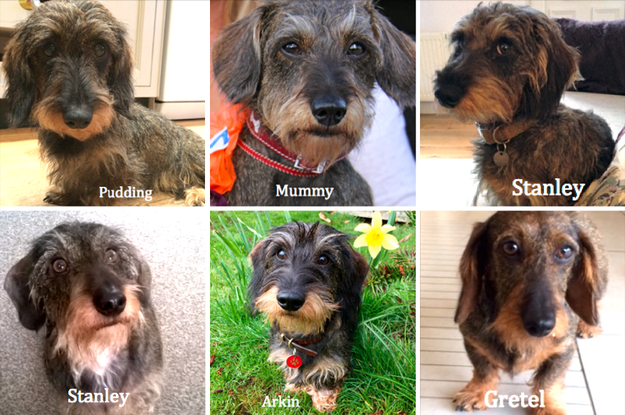 wire haired dachshund family