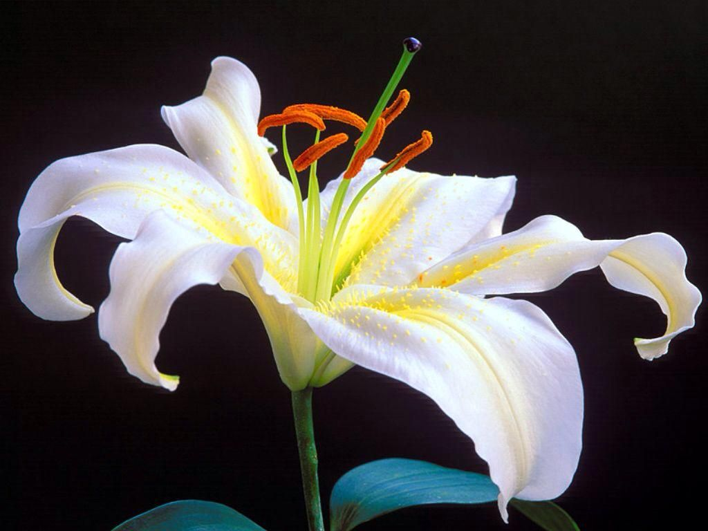265 twitter fiori pinterest twitter lily english meaning the name lily is an english baby name in english the meaning of the name lily is lily flower the flower lily is a symbol of izmirmasajfo