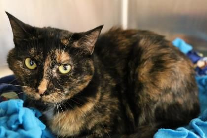 Kitkat Has Been Adopted From Seattle Humane Animals Adoption Cats