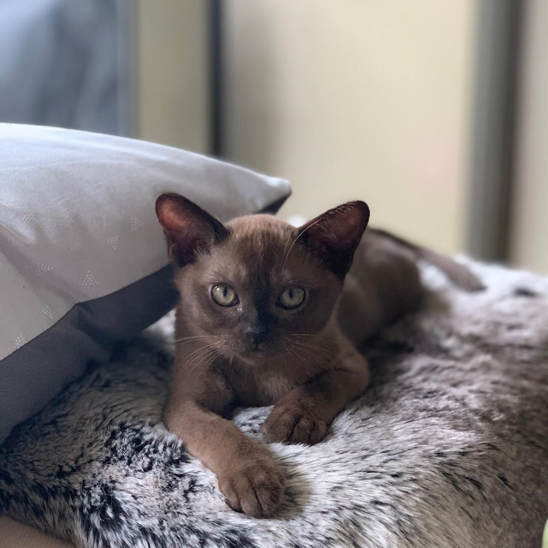 Top 10 Most Beautiful Cat Breeds In The World In 2020 With Images Burmese Kittens Hypoallergenic Cats Grey Cats