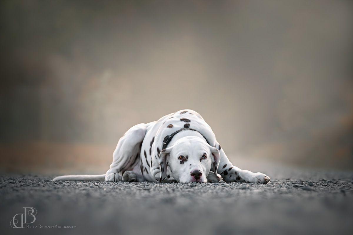 Hundefotografie Saarland Dalmatiner Grisu Hunde Dalmatiner Hundefotografie
