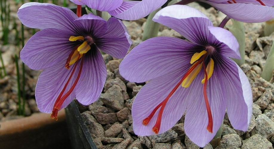 Crocus sativus aka saffron. I make a tea using saffron, cardamon, and honey. Wouldnt it be lovely to use fresh saffron in the fall?