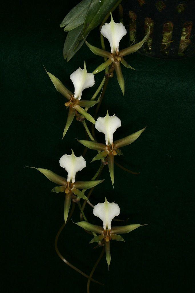 Plectrelminthus Caudatus Spitskop 5 Orchidaceae Orchids Flowers