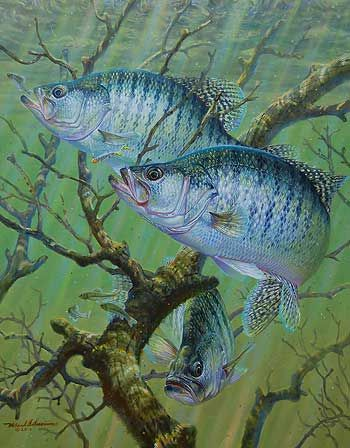 Crappie | Fish reference pictures | Pinterest | Fish, Fish art and