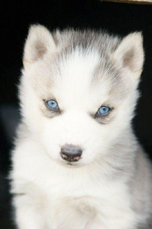 White Husky Puppies With Blue Eyes