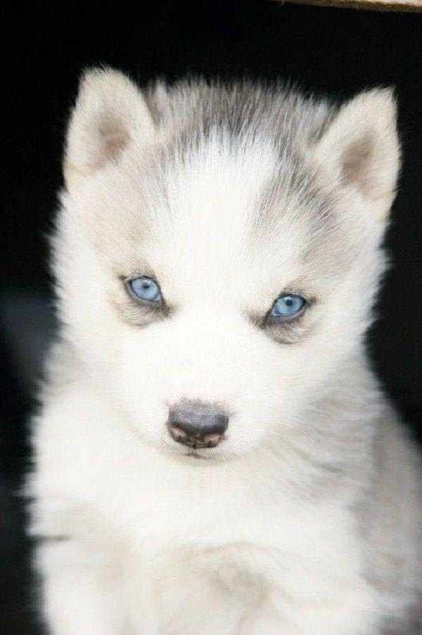 Baby White Husky With Blue Eyes : white, husky, White, Husky, Puppies, Animals,