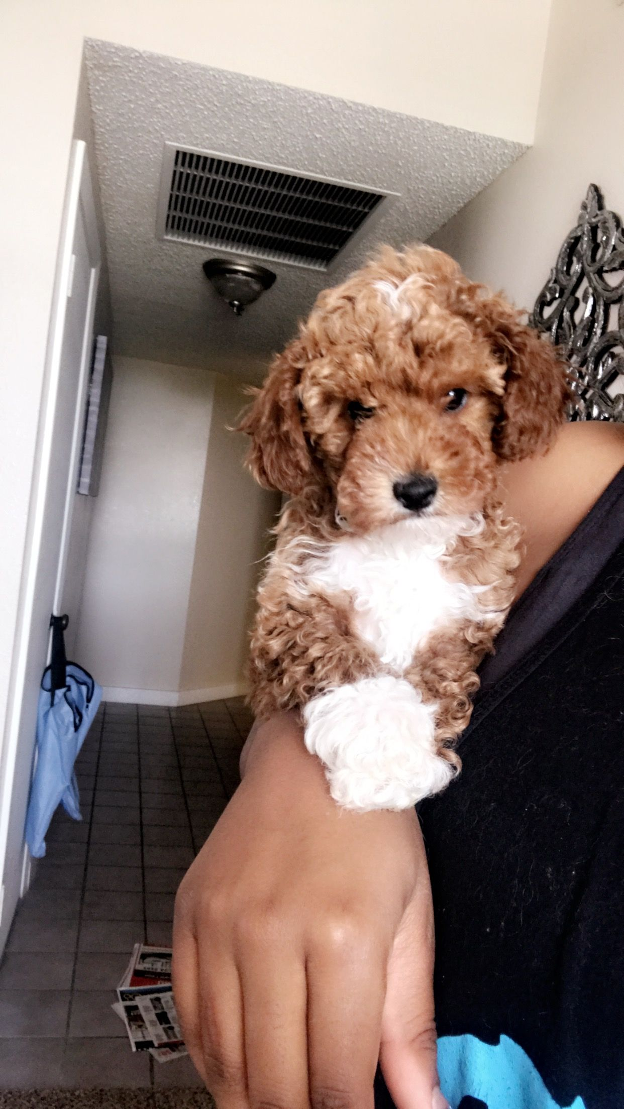 Aries 14 Maltese 34 Toy Poodle Maltipoo Poodle Red