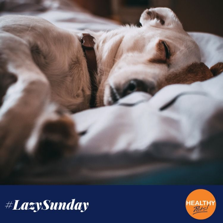 Happy Lazysunday How Are You Spending Yours Cats Dogs Pets Weekendvibes Healthypetsinsura Pet Insurance Reviews Shih Tzu Puppy Care Puppy Care