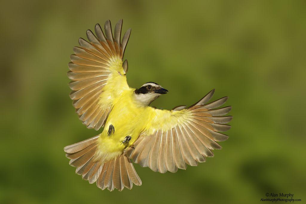 Goldfinch in beautiful flight - Google