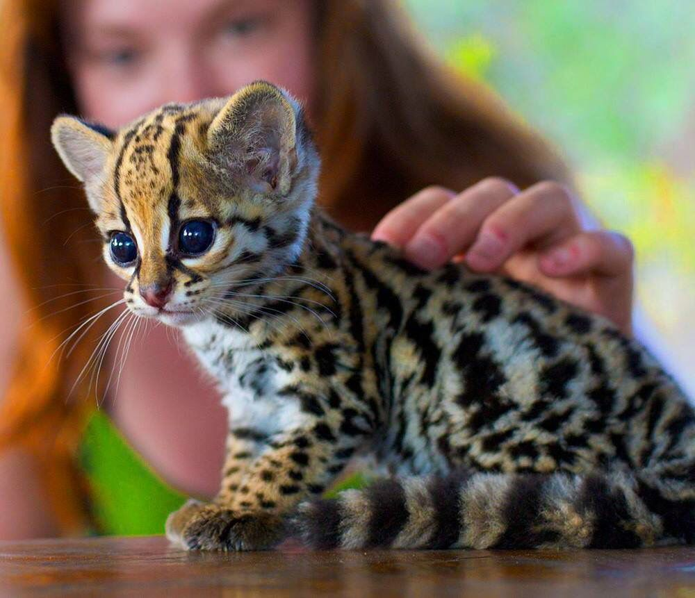 Apparently This Is An Ocelittle Imgur Cute Animals Animals Cats And Kittens