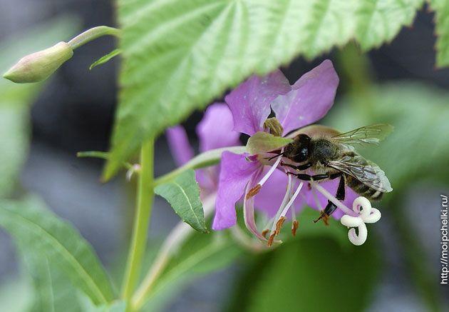 Цветок кипрея с пчелкой
