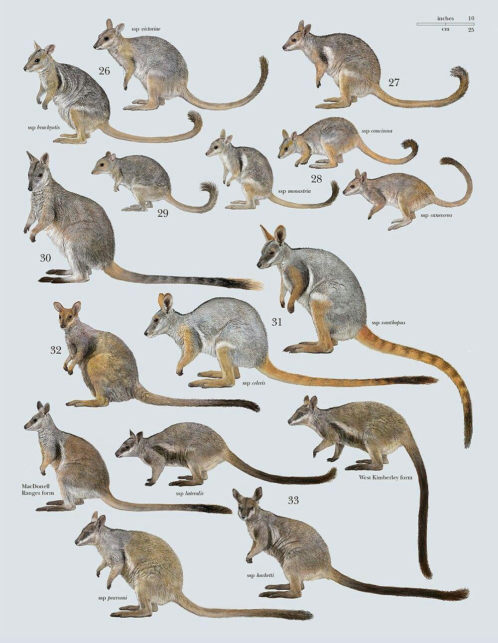 Kangaroos & their close kin.   animales   Pinterest   Animales