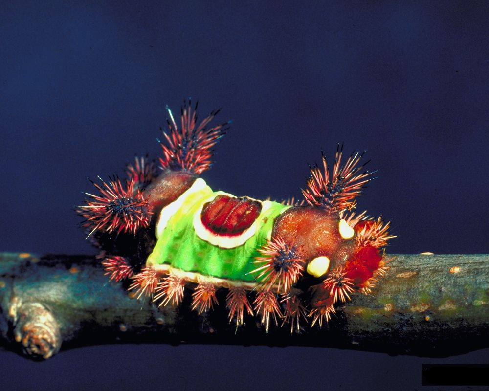 The Saddleback #Caterpillar (Acharia stimulea) #Moth #insect