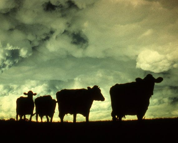 Cow Silhouette Fine Art Photography Wall By Artistwiththecamera Art Photography Sillouette Painting Art