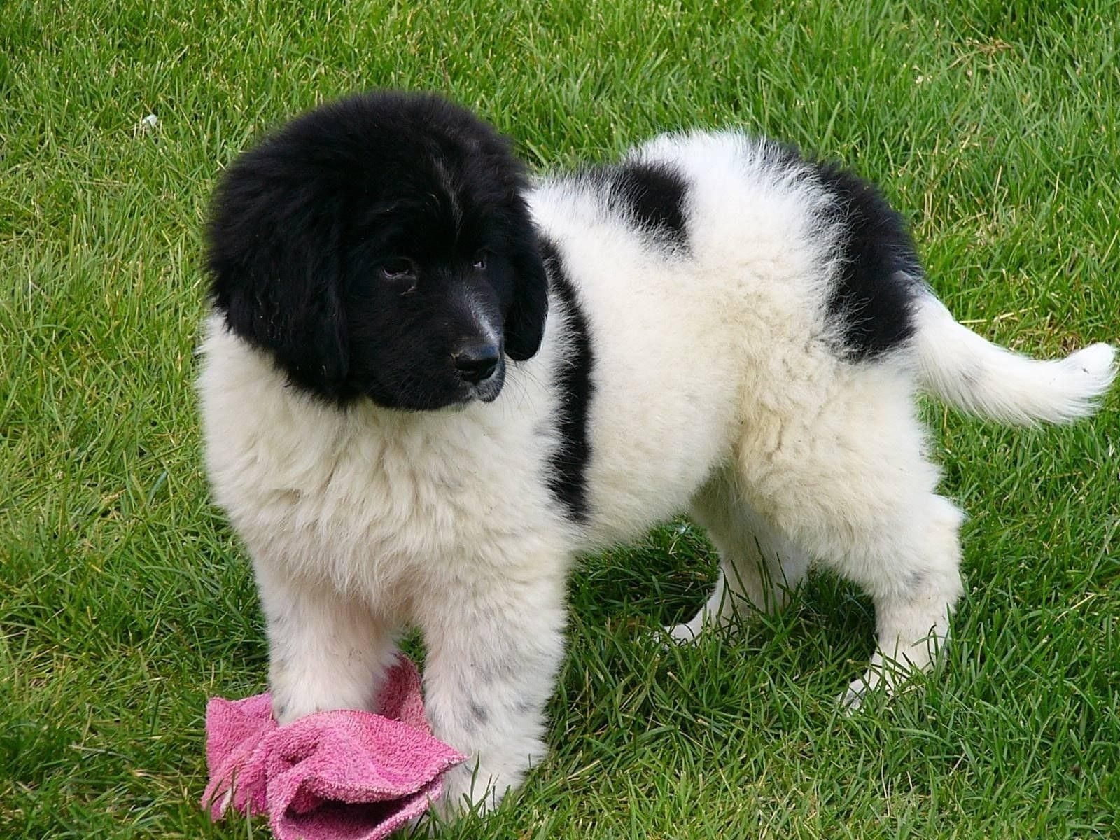 Vetsweston Newborn Landseer Dogs Eyes Closed Ears To Hear Too Wang Dog Was Born Almost Will Open At 9 To 13 Days 13 To 17 Day Bebes Animaux Toutous Chien