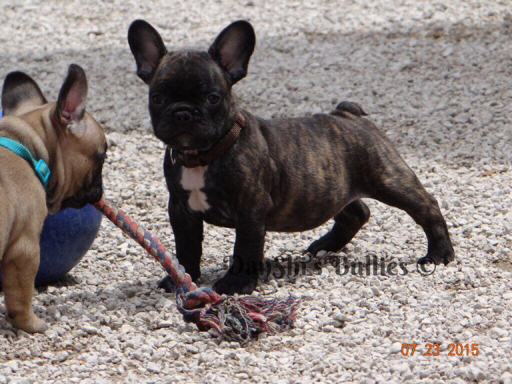 Pin By Danshi S Bullies On Akc English French Bulldogs Family