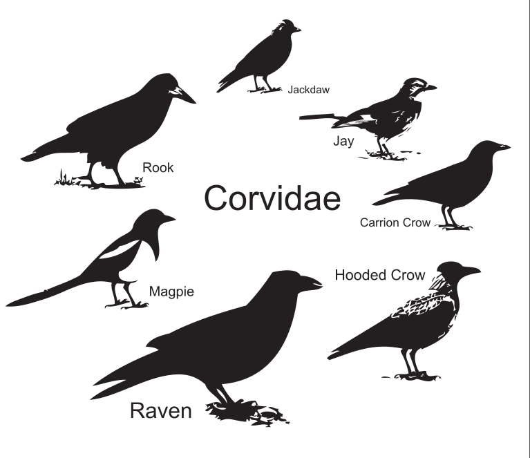 Raven vs crow vs grackle - photo#52