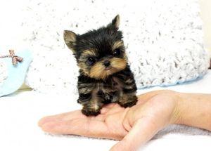 Micro Teacup Yorkie Botique Teacup Puppy Website Flickr Photo
