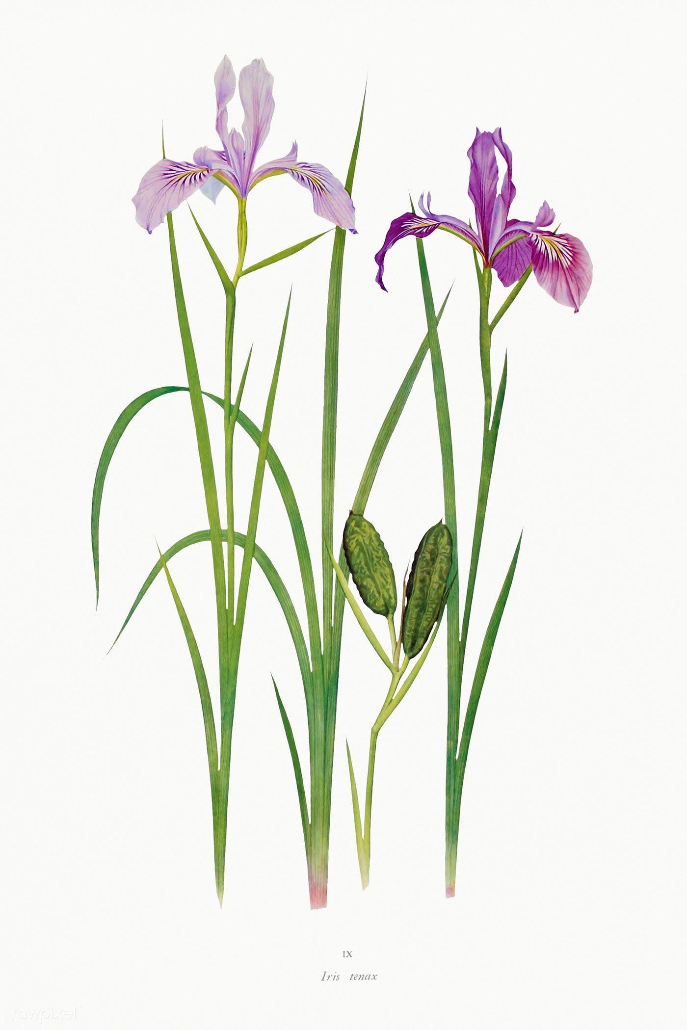 Vintage Iris Flower Illustration Template Premium Image By Rawpixel Com In 2020 Flower Illustration Iris Flowers Flower Drawing