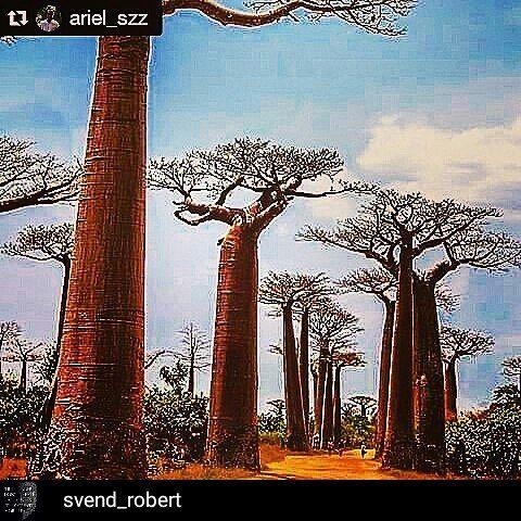 Vi er på plass #knallguledager @Regrann from @svend_robert -  #Repost @ariel_szz with @repostapp  Vår 100%#baobaboil får du hos @millemanellesalong og. @mabelsmythe. Lørdag 23rd april er @envotrade tilstede og forteller historien. Love #africa #baobabtree #sustainability #sustainabletrading #mothernature #southafrica #baob#earth #earthday #africa #nigeria #pustynia #drzewa #baobab #tree #najpiekniejsze #jungle #monster #wood #Regrann Re-post by Hold With Hope