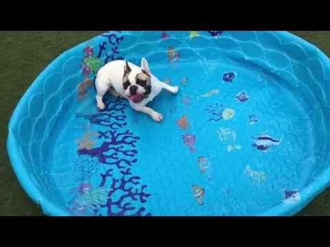 French Bulldogs Don T Need Water To Swim French Bulldog Funny