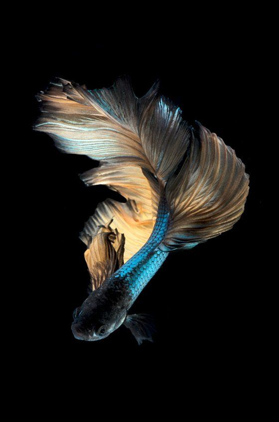 Pin On I Love This Betta fish wallpaper iphone black