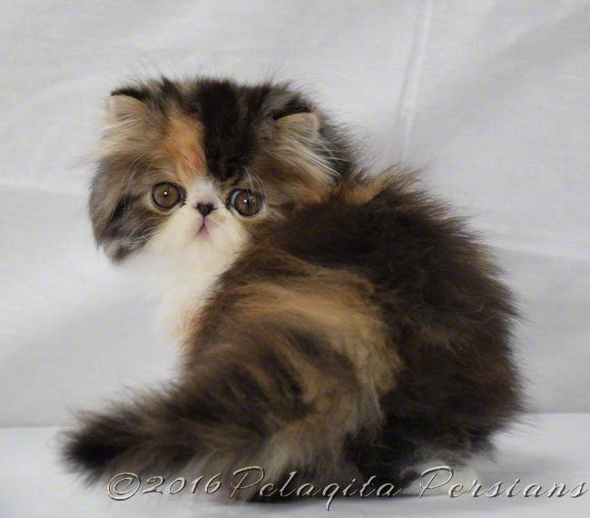 Persian Kittens For Sale Pelaqita Persian Cats And Persian