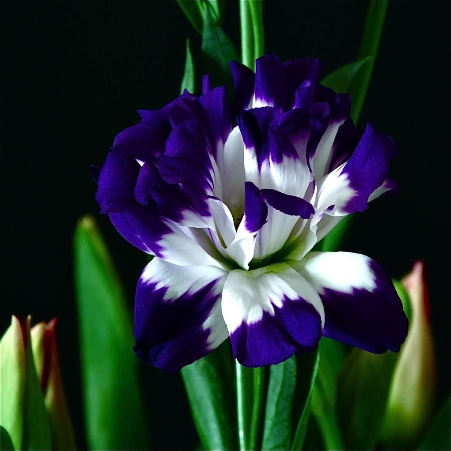 Beautiful colour i think it is in the iris family just flowers beautiful colour i think it is in the iris family izmirmasajfo