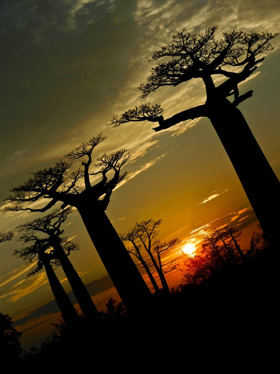 Baobabs trees Madagascar ..Baobab is called the Tree of Life with good reason. It is capable of providing shelter, food and water for the animal and human inhabitants of the African savannah regions